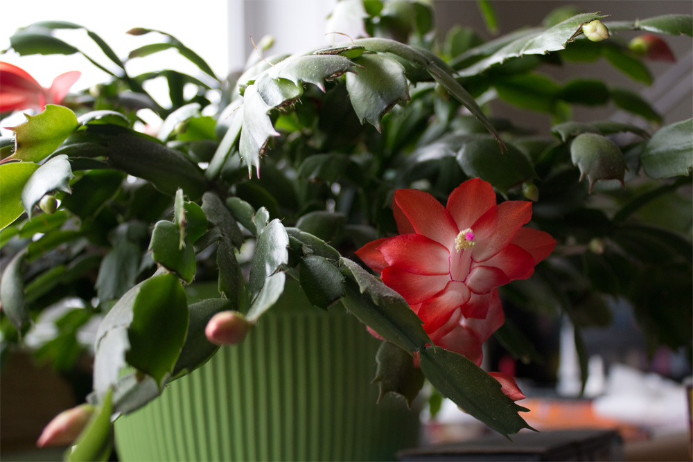 blooming Christmas cactus